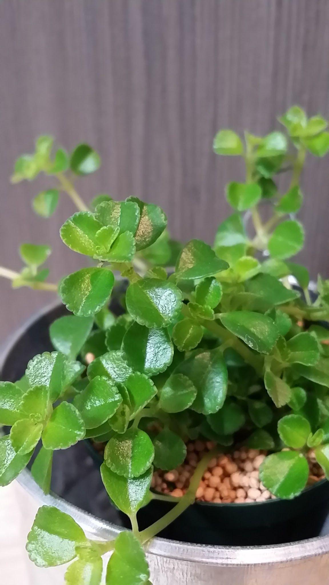 小さな葉っぱで可愛らしい印象の 「ピレア ディプレッサ」が届きました。